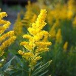 ブタクサ花粉の時期はいつからいつまで?時期や症状、対策を解説!