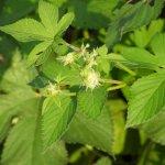 カナムグラ花粉の時期はいつからいつまで?時期や症状、対策を解説!